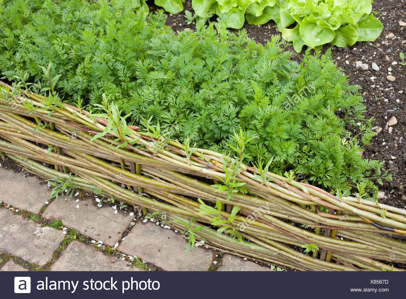 Green Willow Woven In To Miniature Fance Panels Around Vegetables In The  Potager And Cottage Garden