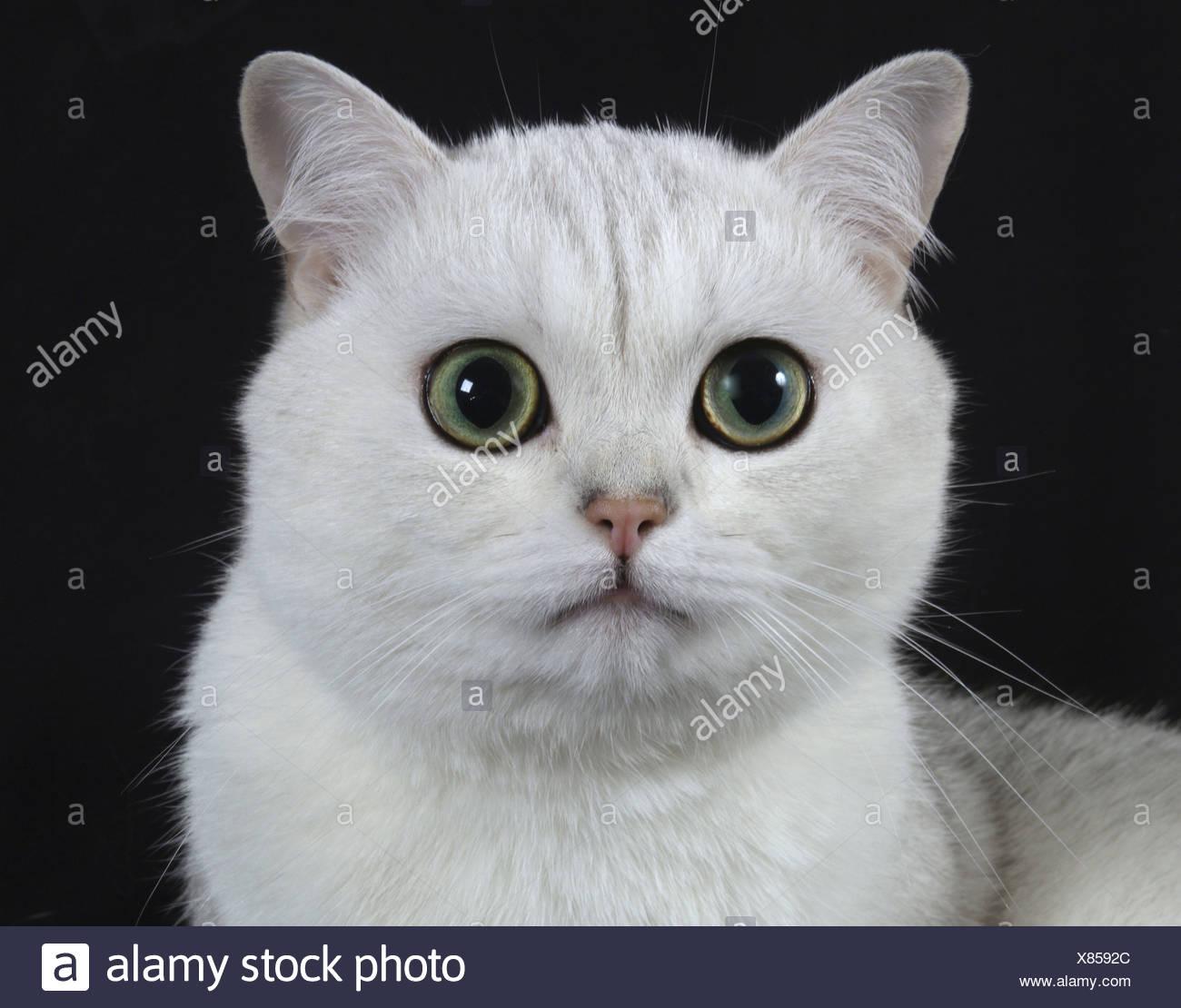 Carthusian cat, silver shadow Stock Photo