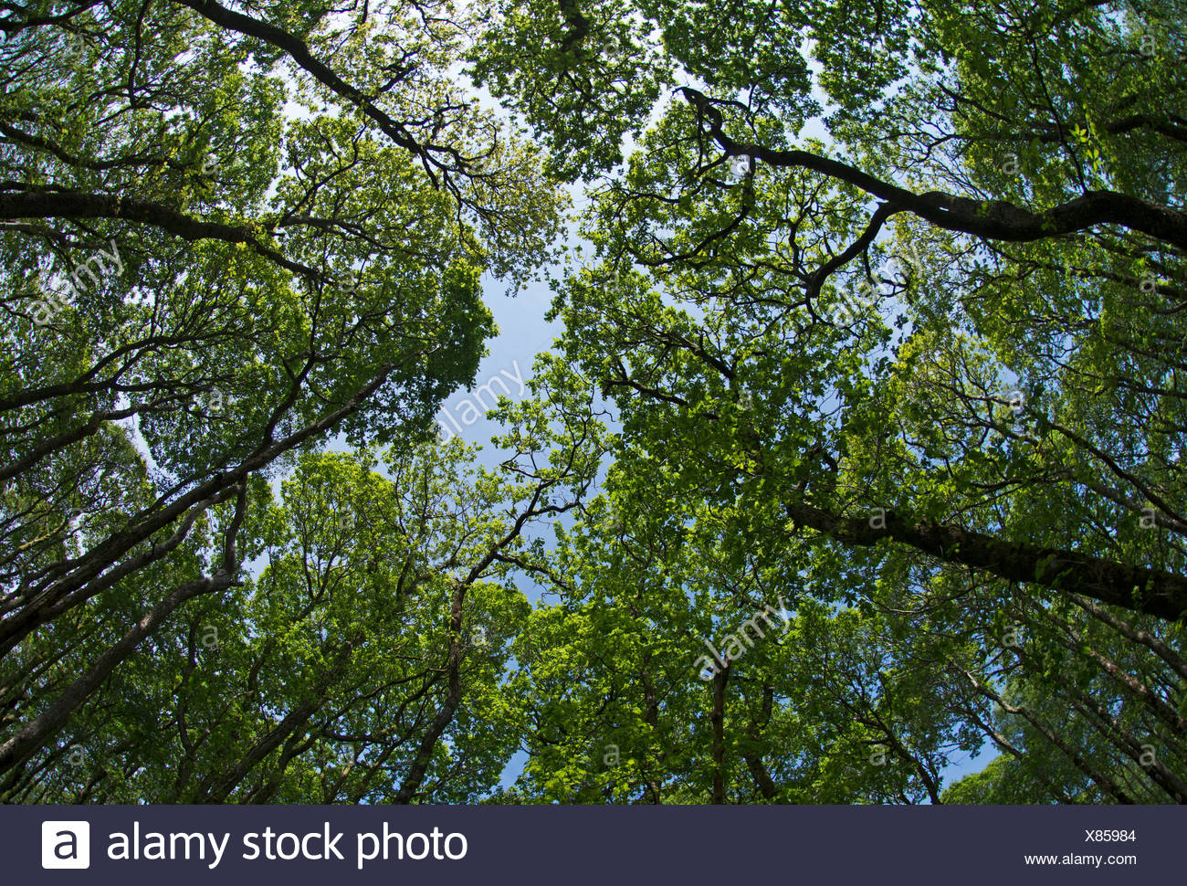 Looking up at canopy in Oak woodland at Wood of Cree RSPB Reserve Dumfries & Galloway Scotland - Stock Image