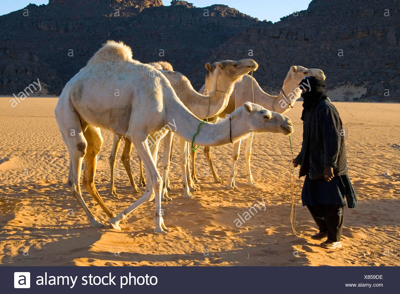 White Camels Stock Photos Amp White Camels Stock Images Alamy