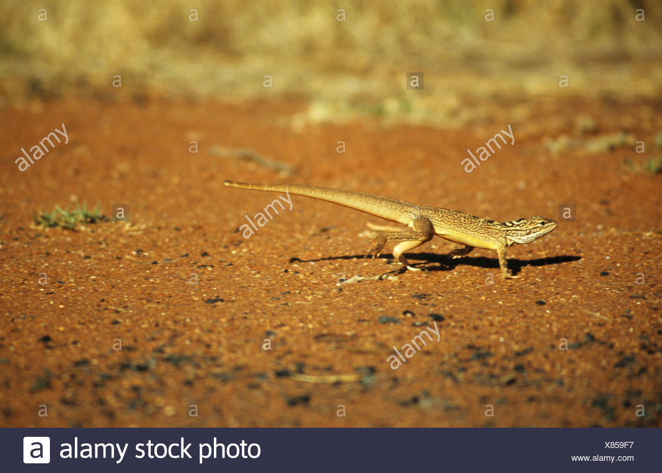lozenge-marked dragon / Ctenophorus scutulatus - Stock Image