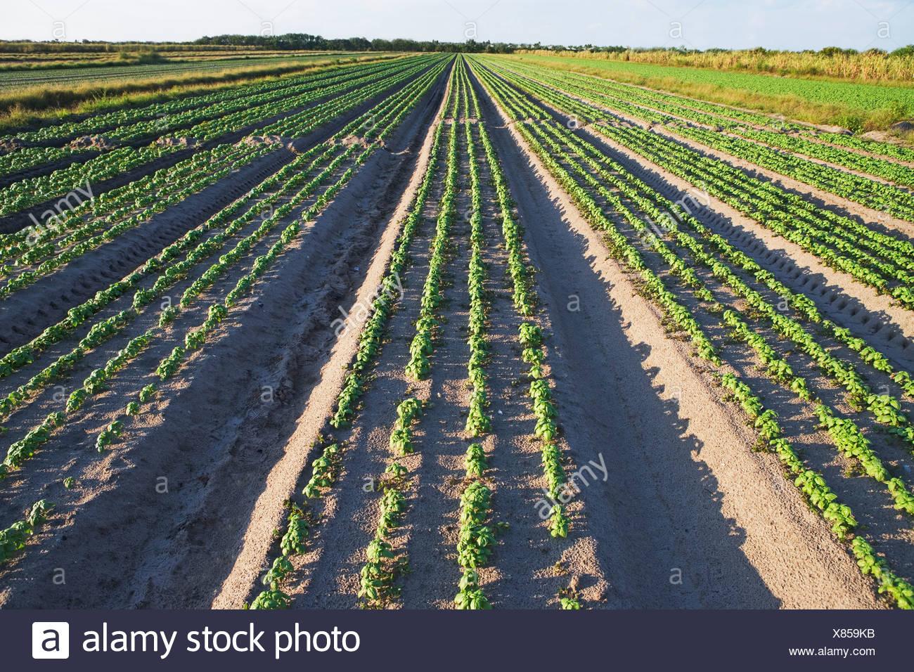 Rows of basil, Florida, United States - Stock Image