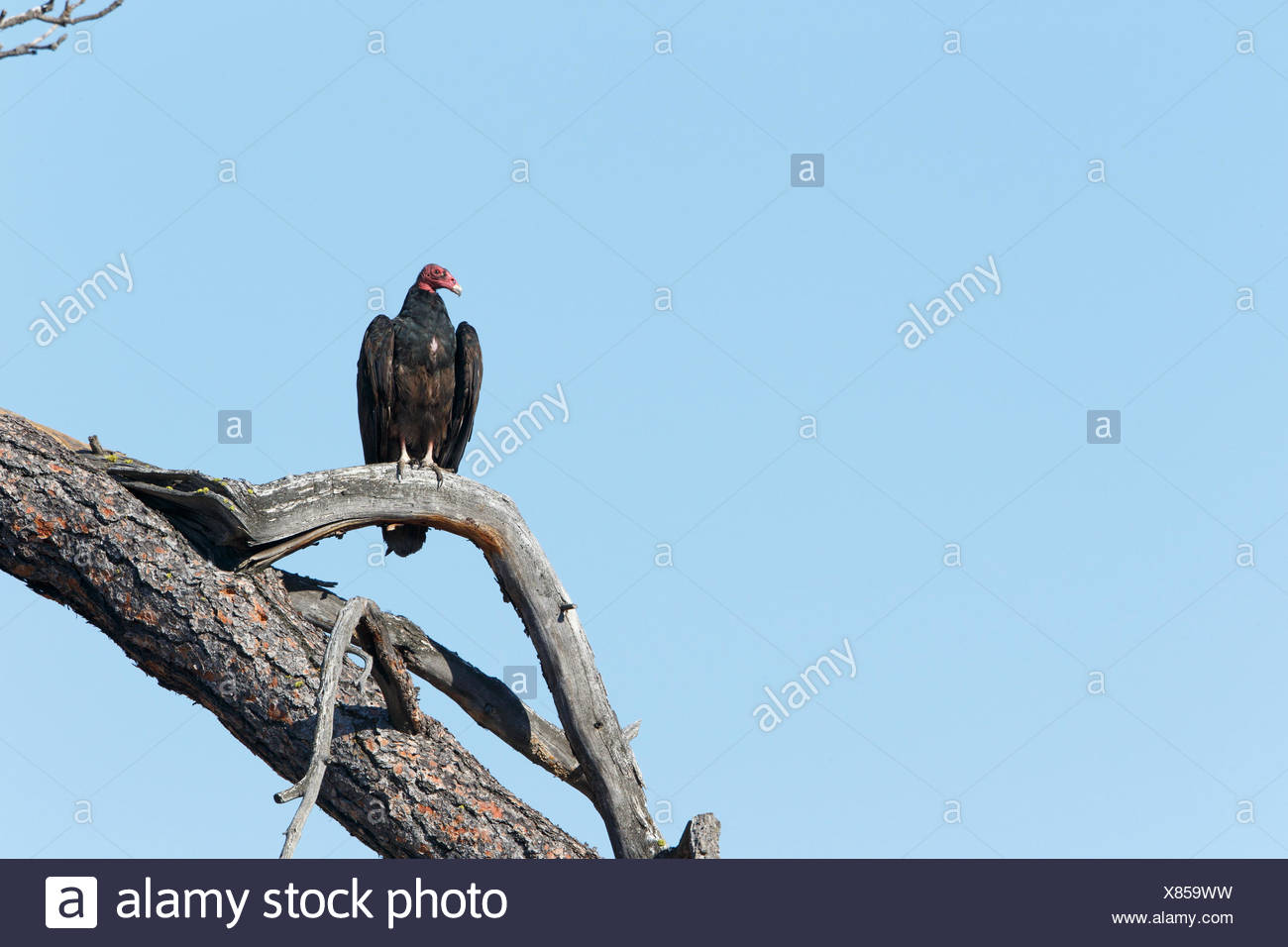 Turkey vulture (Cathartes aura), ThompsonNicola region, British Columbia, Canada - Stock Image