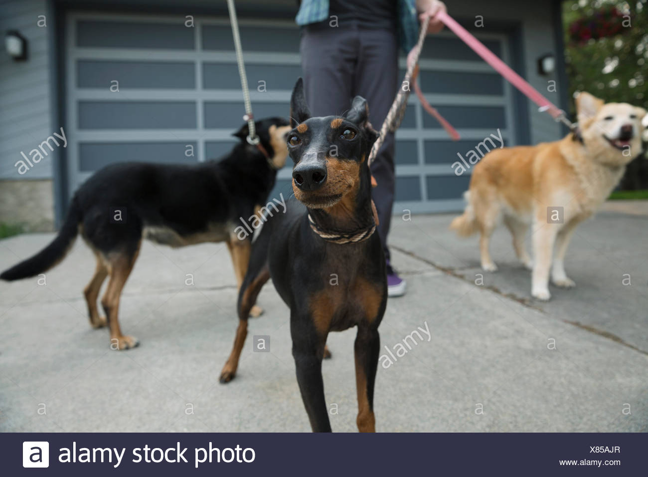 Man walking dogs on leashes in driveway - Stock Image