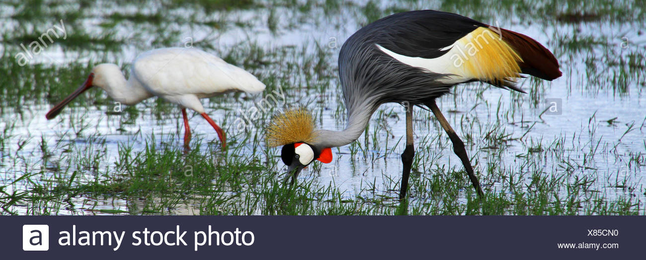 crowned crane (Balearica pavonina), on the feed with African Spoonbill, East Afrika - Stock Image