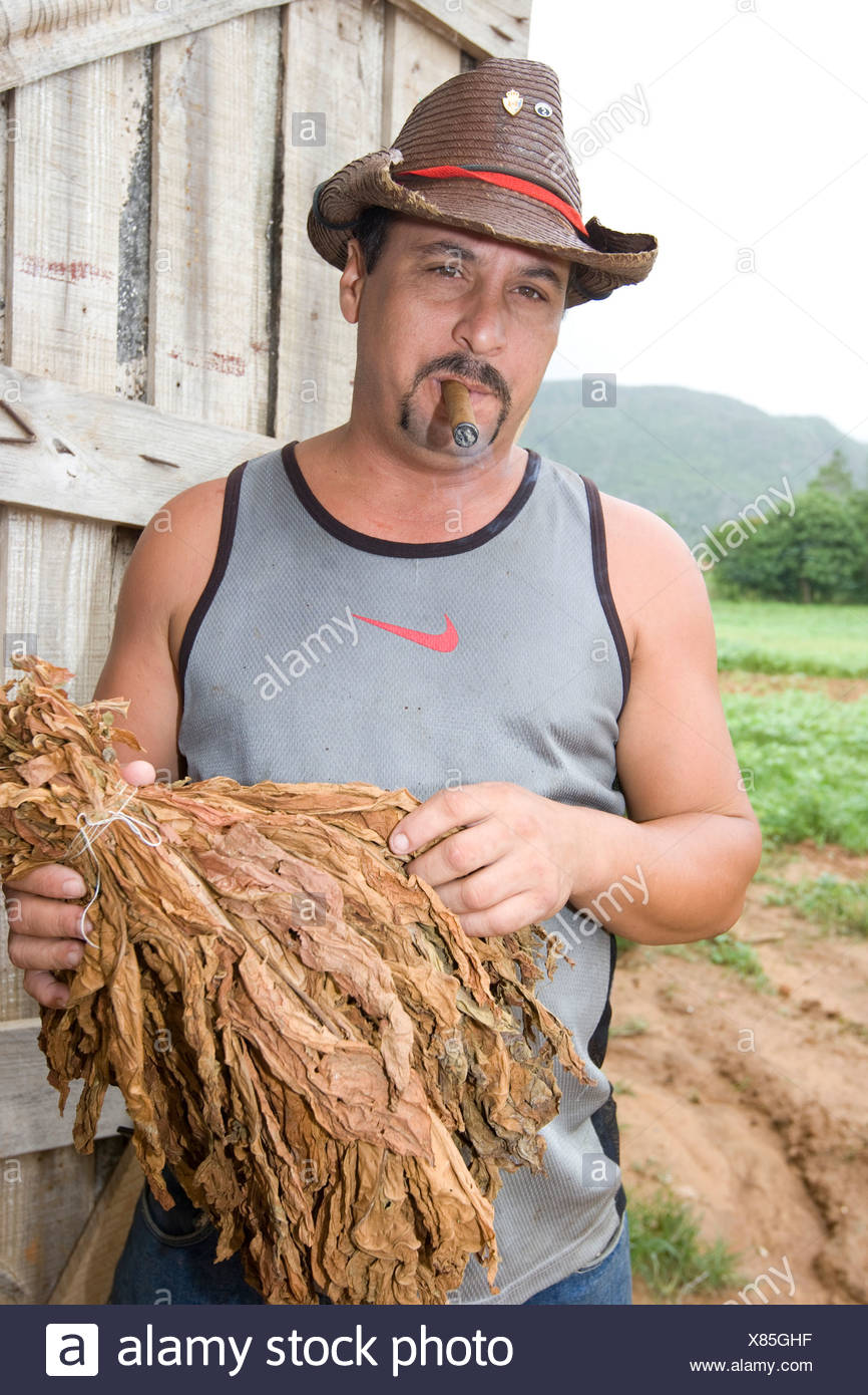Cuban man holding dried tobacco in front of a drying-house for tobacco, Cohiba, Vinales, Cuba, Caribbean - Stock Image