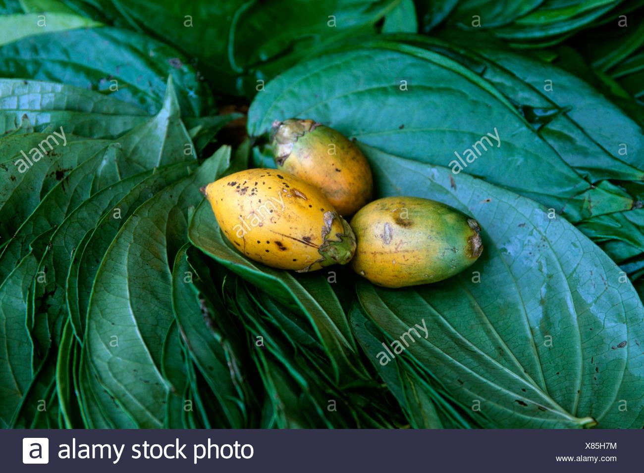 Betel Nut Tree or Betel Palm leaves (Areca catechu), Sri Lanka, South Asia - Stock Image