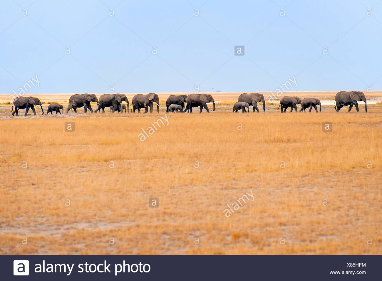 African elephant (Loxodonta africana), herd of elephants walking through the savannah, Kenya, Amboseli National Park - Stock Image