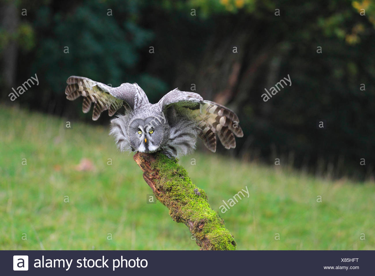 great grey owl (Strix nebulosa), starting from a lookout - Stock Image