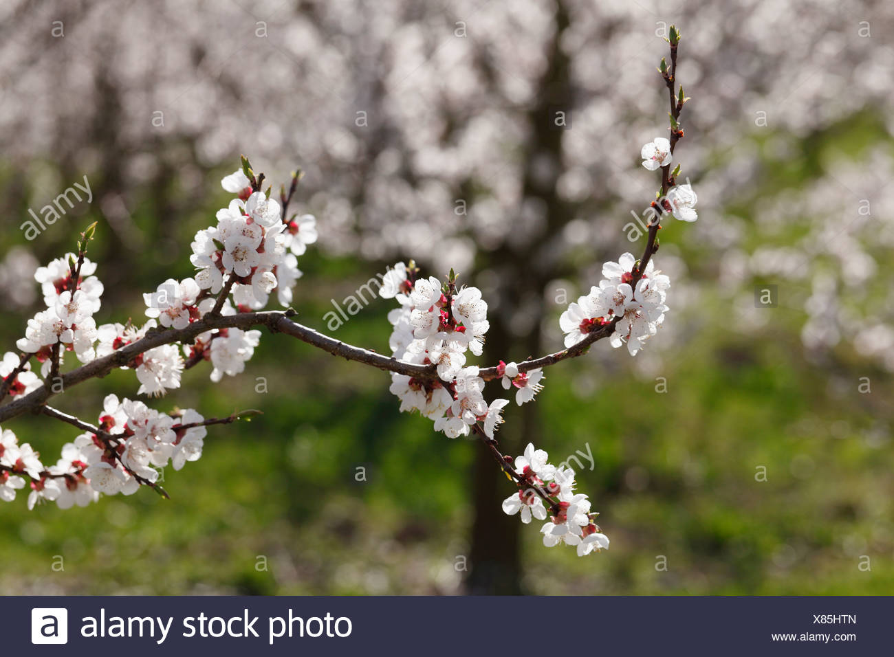 Austria, Lower Austria, Wachau, Twig of apricot blossoms, close up - Stock Image