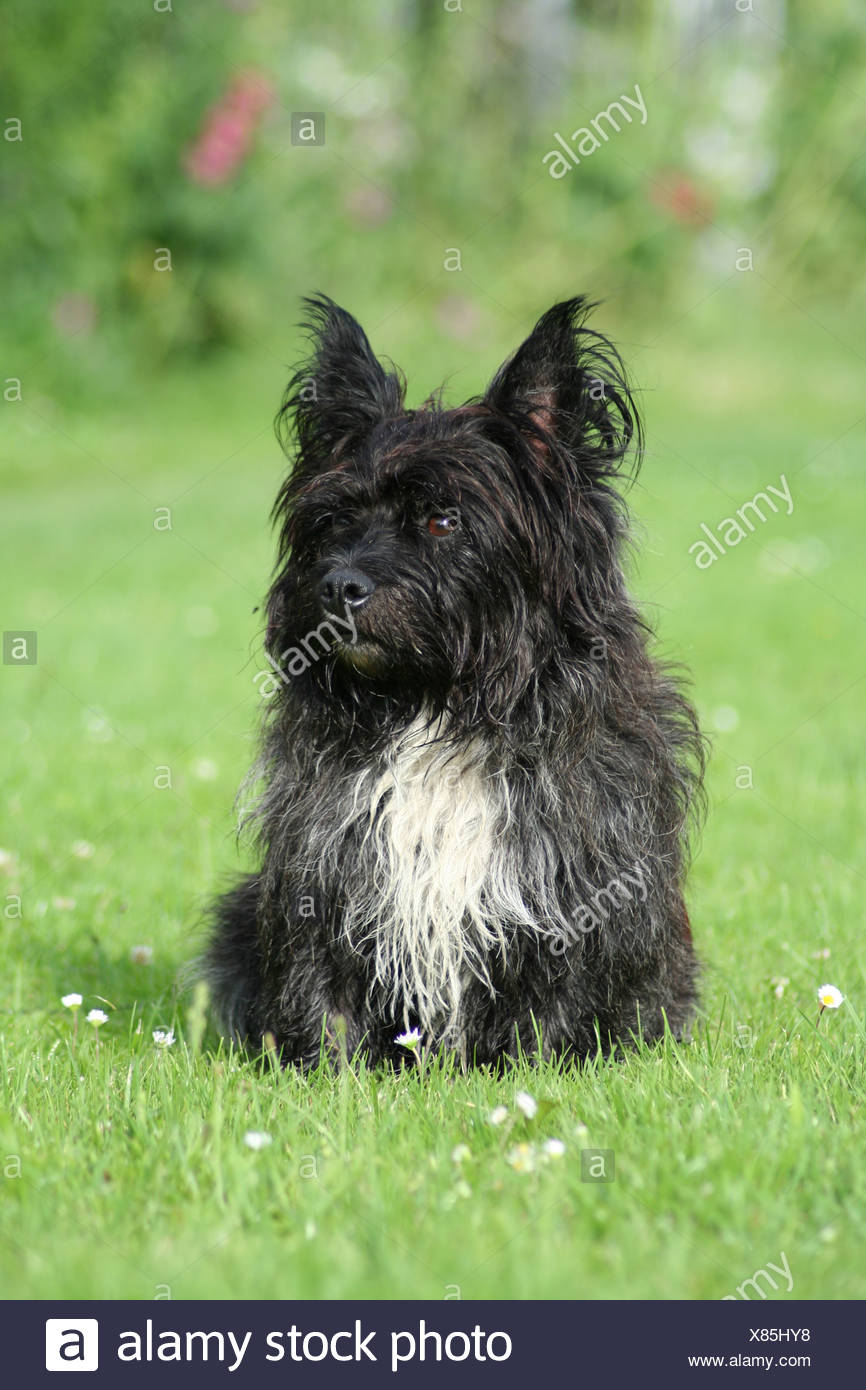 crossbreed - Stock Image