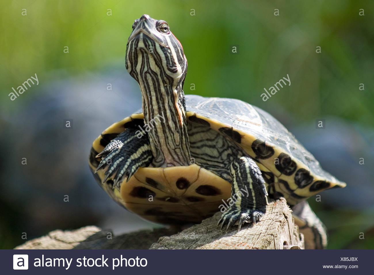 optional reptile portrait - Stock Image