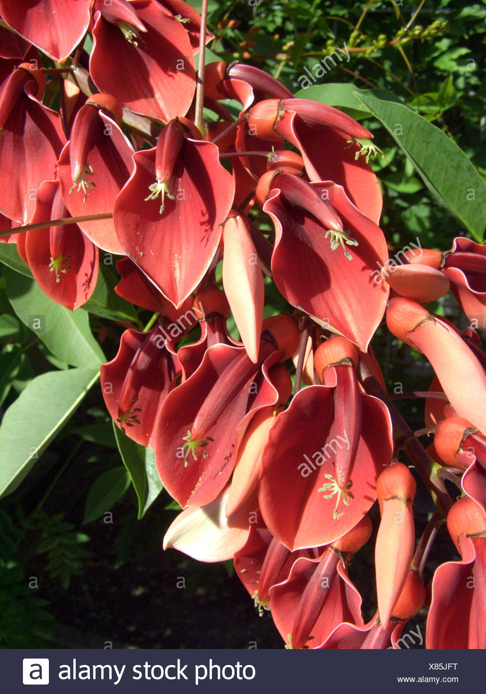 cockspur coral tree, crying baby (Erythrina crista-gallii), flowers Stock Photo