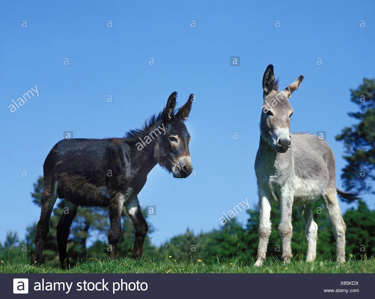 Domestic Donkey and Grey Donkey - Stock Image