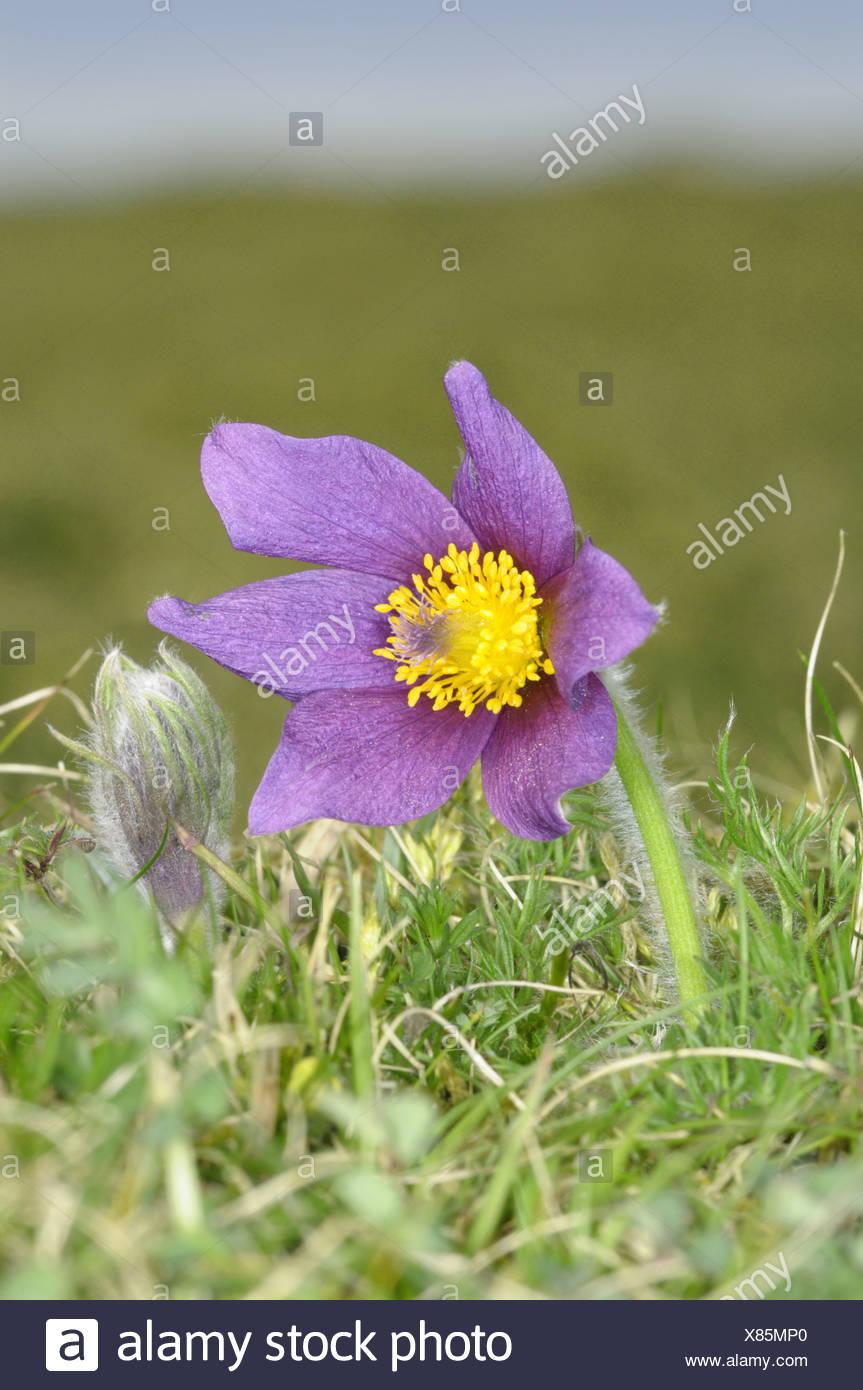 PASQUEFLOWER Pulsatilla vulgaris (Ranunculaceae) - Stock Image