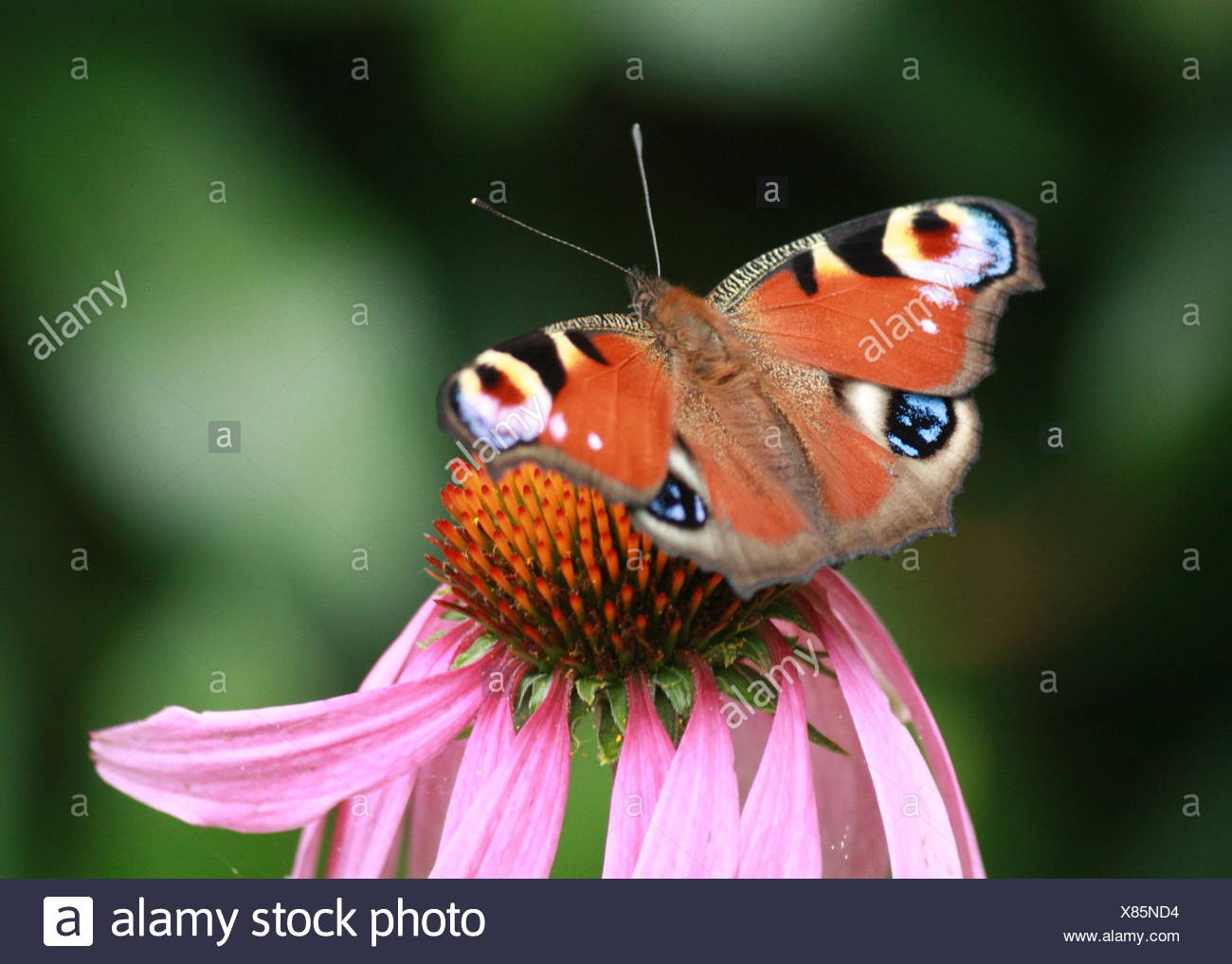 peacock butterfly on flower - Stock Image