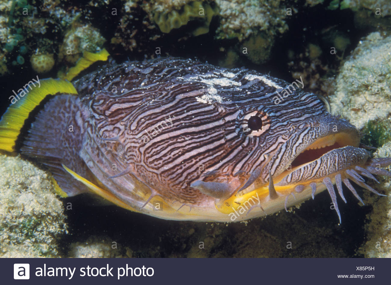 SPLENDID TOADFISH SANOPUS SPLENDIDUS COZUMEL MEXICO - Stock Image