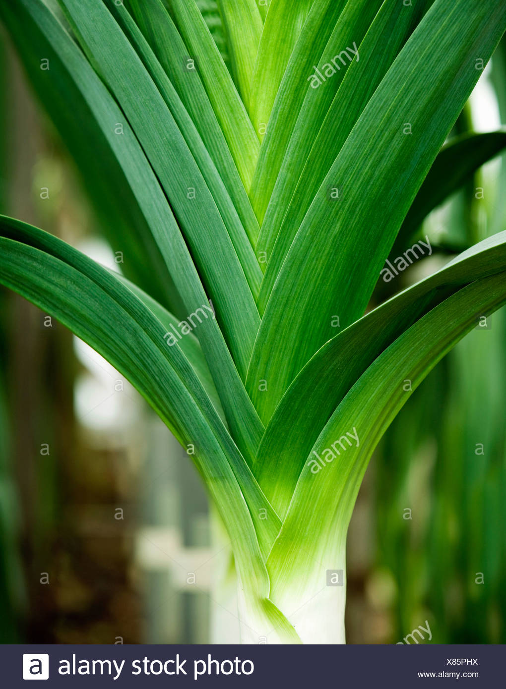 A portrait of a leek - Stock Image