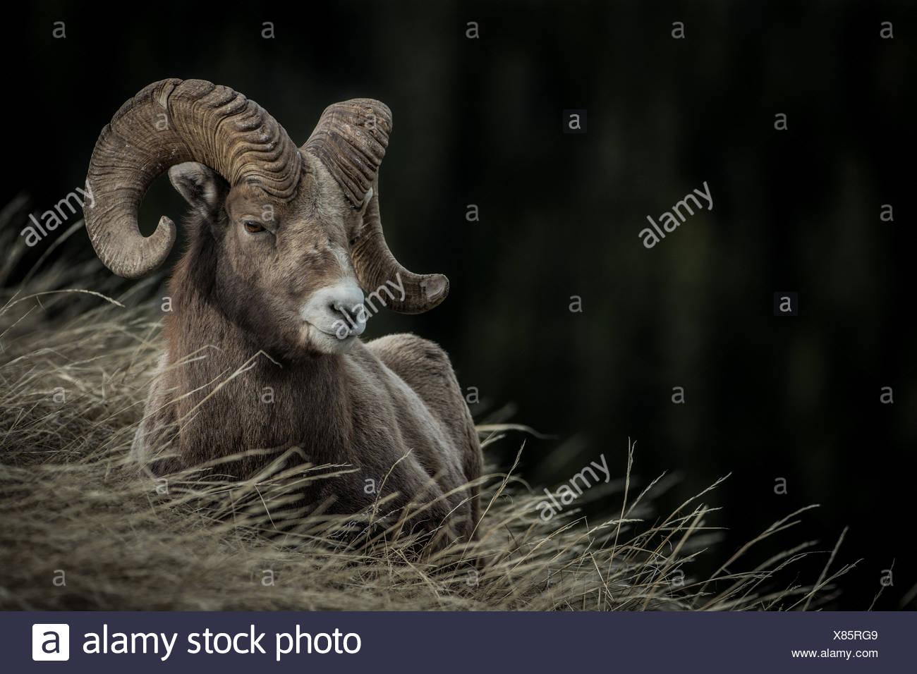 Ovis canadensis, bighorn sheep, ram bedded in Rockies, Alberta Canada - Stock Image