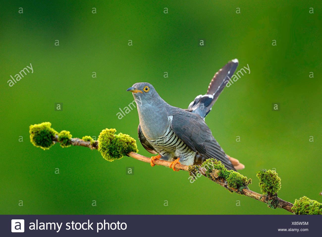 Eurasian Cuckoo, upper Austria - Stock Image
