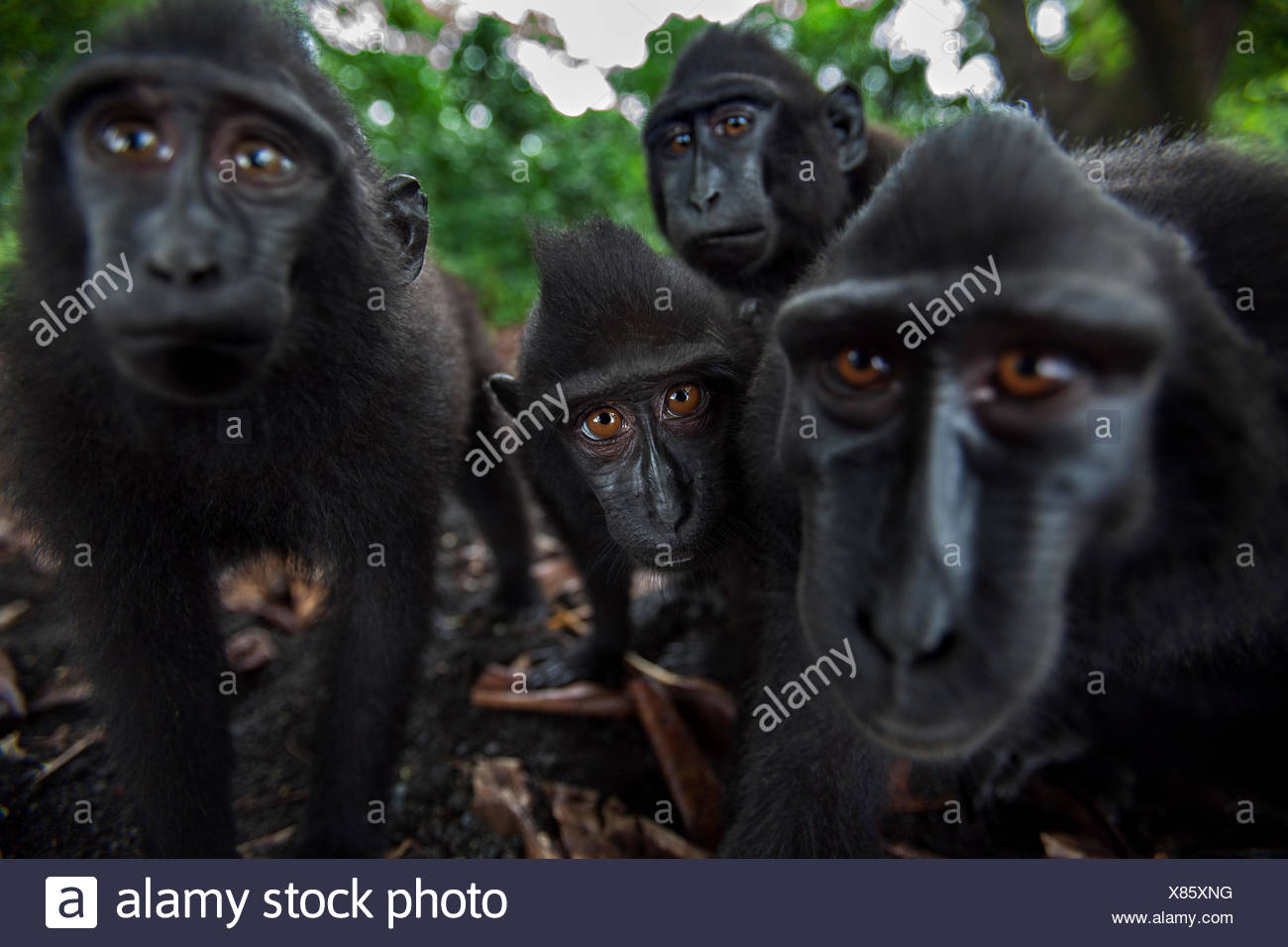 Celebes / Black crested macaque (Macaca nigra) group up close, watching with curiosity, Tangkoko National Park, Sulawesi, Indonesia. - Stock Image