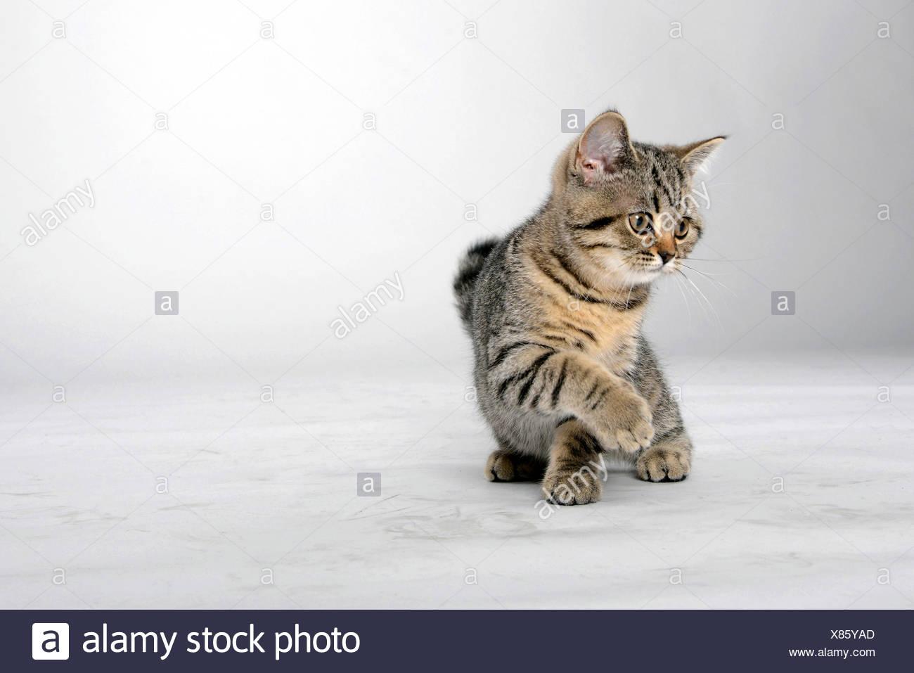 British Shorthair (Felis silvestris f. catus), little striped kitten giving the paw - Stock Image