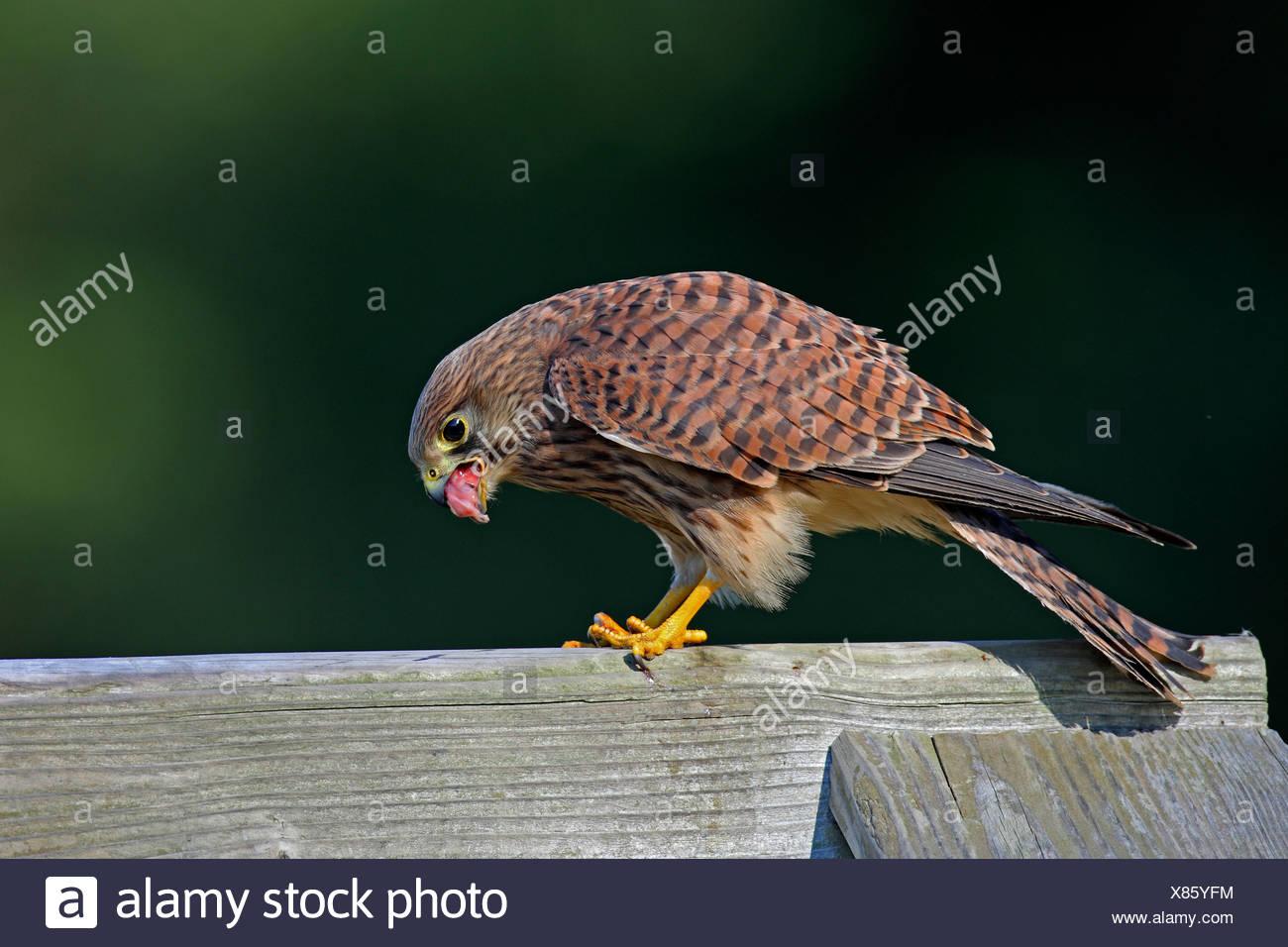common kestrel (Falco tinnunculus), female with prey, Germany, North Rhine-Westphalia - Stock Image