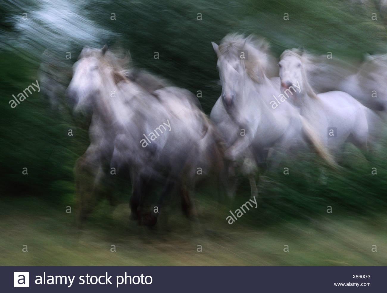Herd of Camargue horses running France - Stock Image