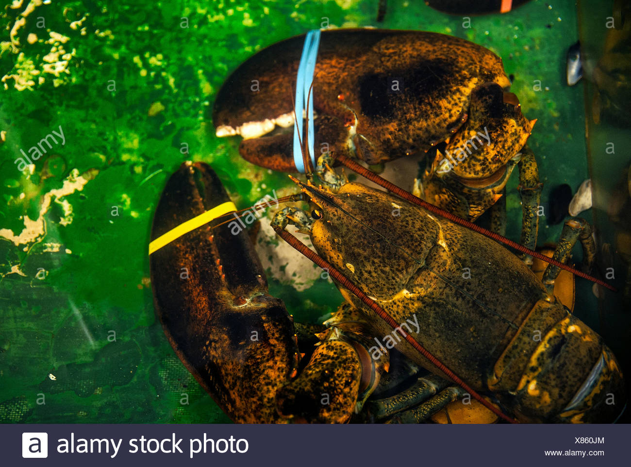 Live lobster in a seafood market holding tank. - Stock Image