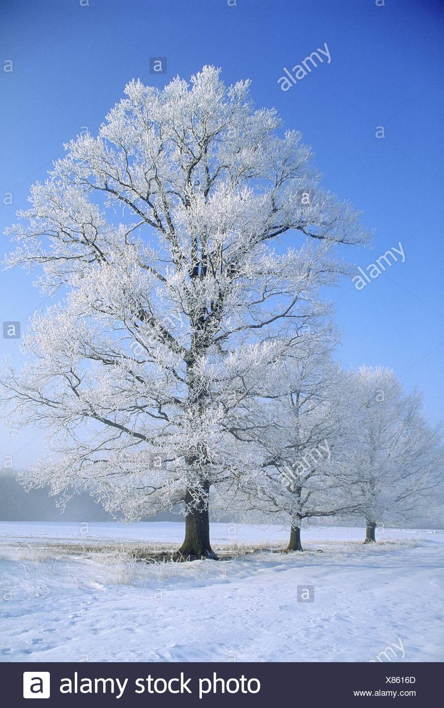 Sessile oak (Quercus petraea), in snow, Germany - Stock Image