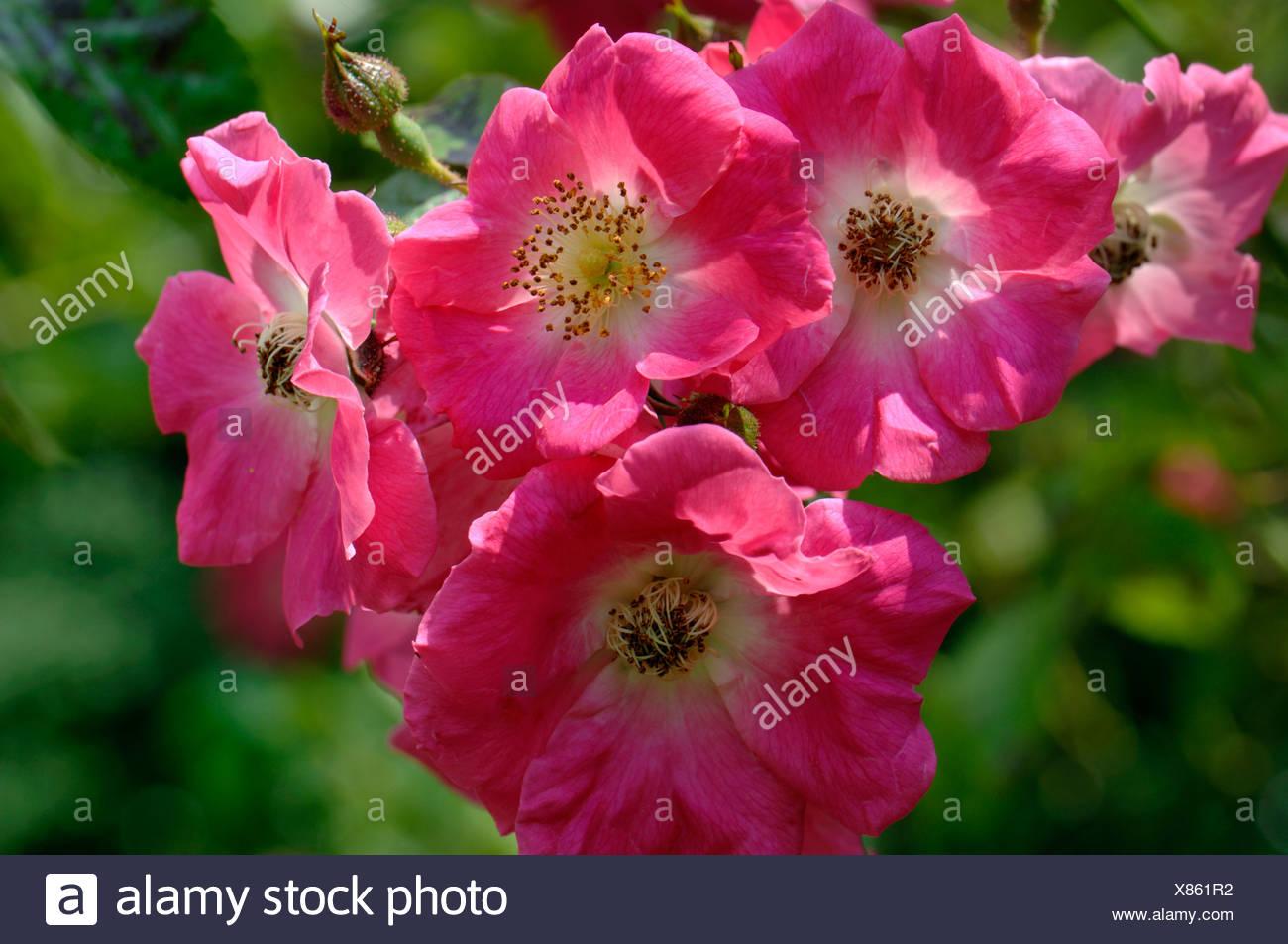 Rosa America Pillar deep pink flowers on a rambling climbing rose - Stock Image