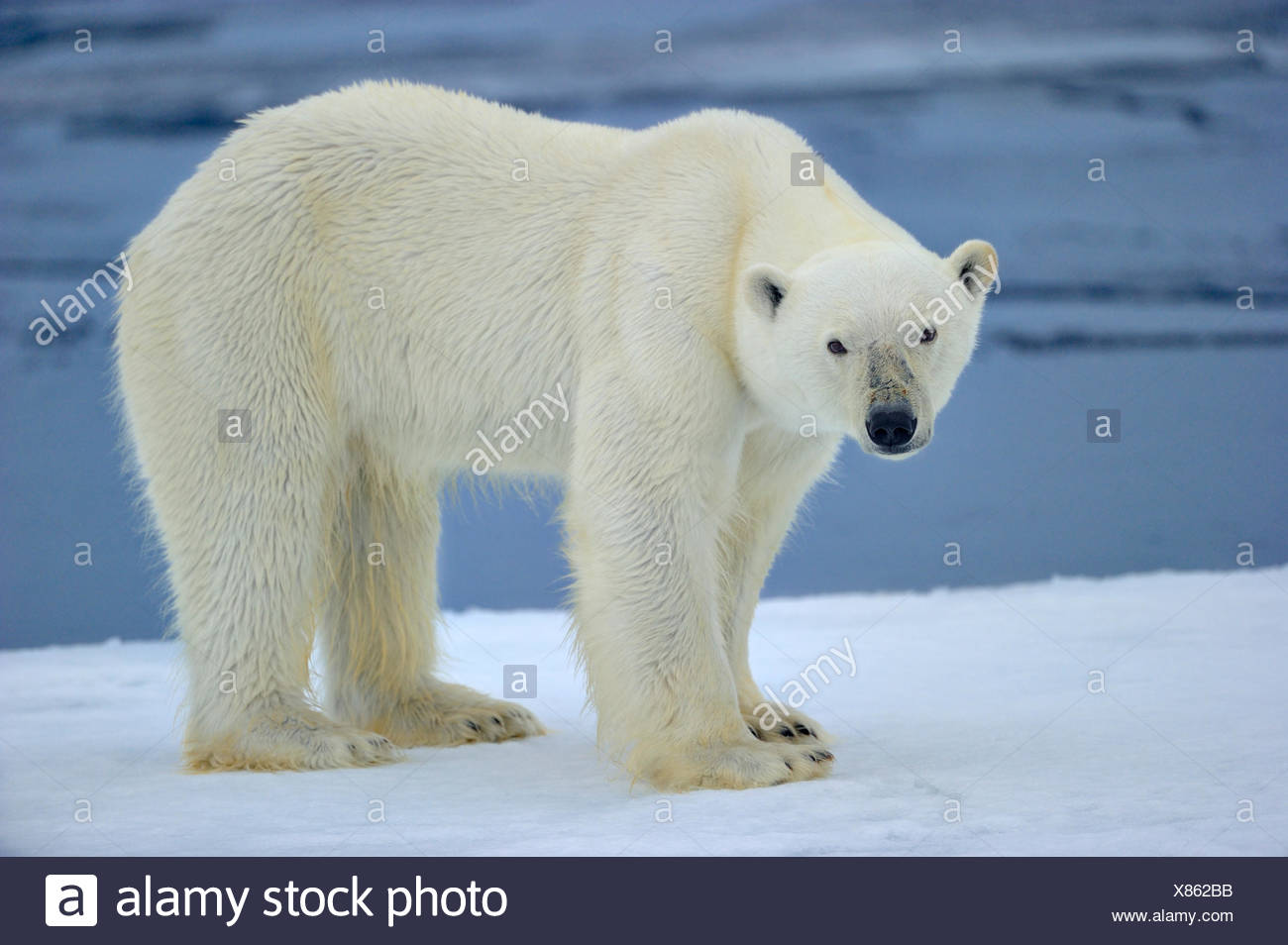 Polar bear (Ursus maritimus) on pack ice. Svalbard, Arctic. Endangered species. - Stock Image