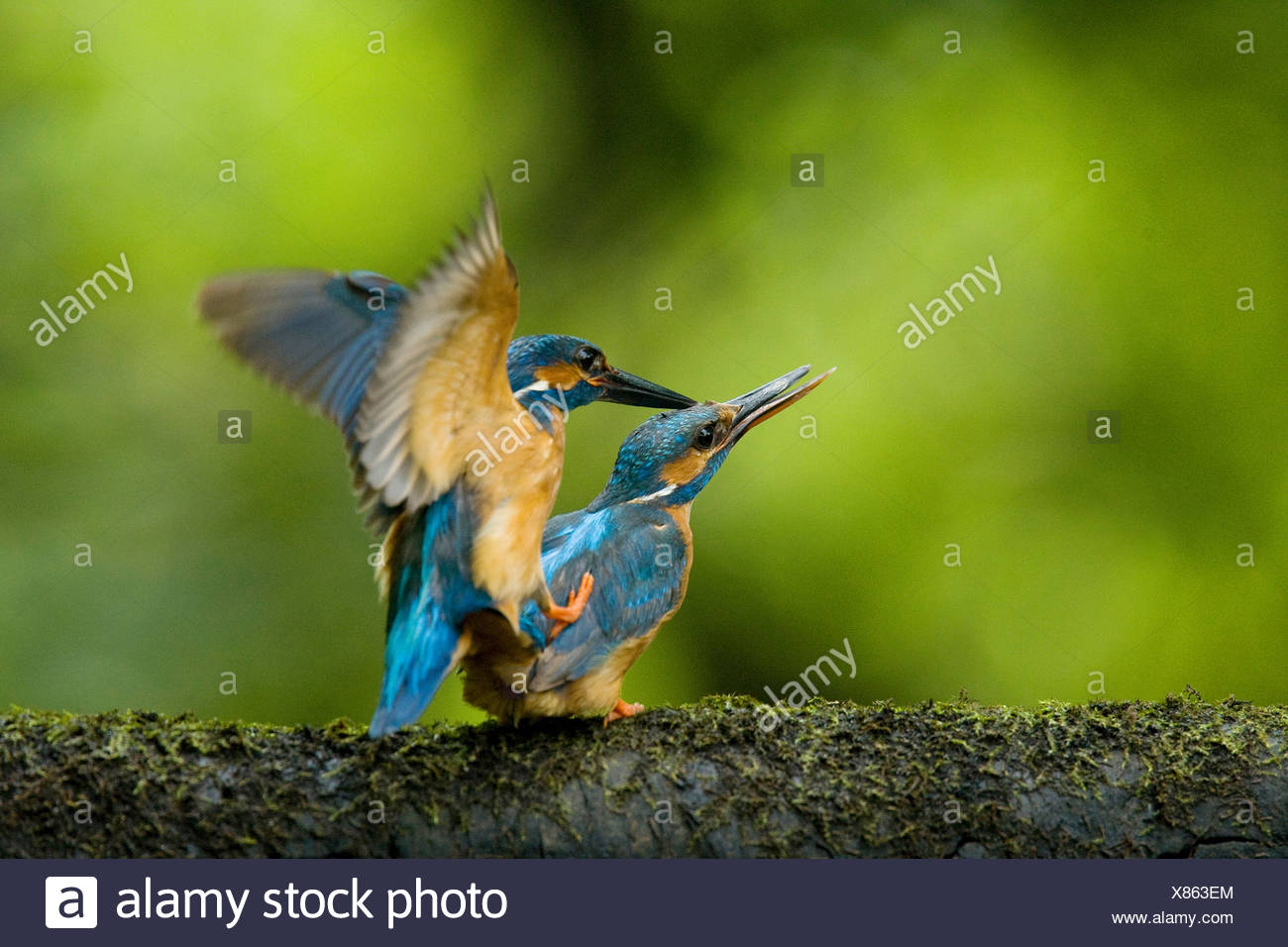 A male, top, common kingfisher, Alcedo atthis, mates with a female. - Stock Image