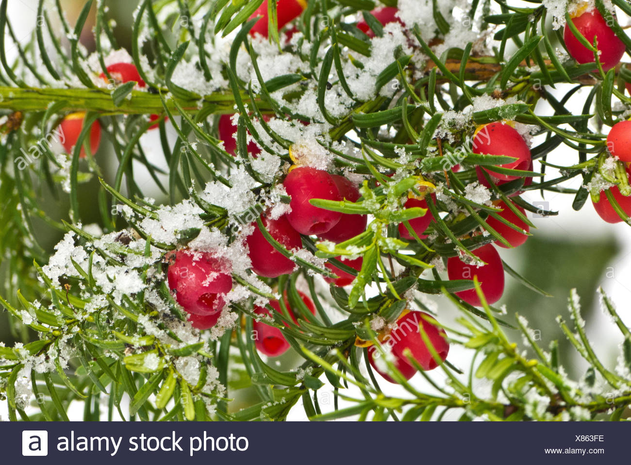 Yew twig with fruits, snowy, medium close-up, - Stock Image