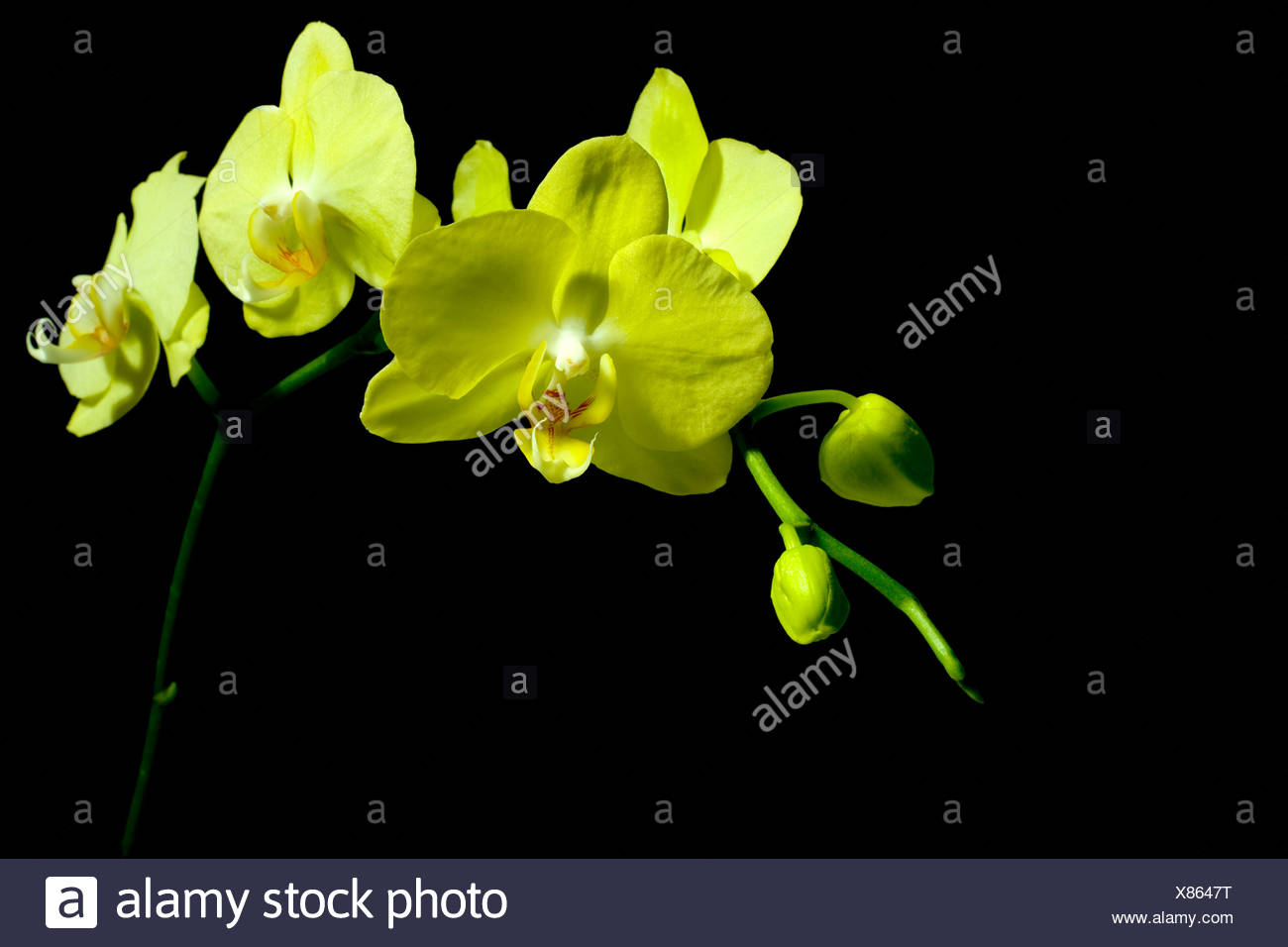 Yellow flowers on black background Stock Photo