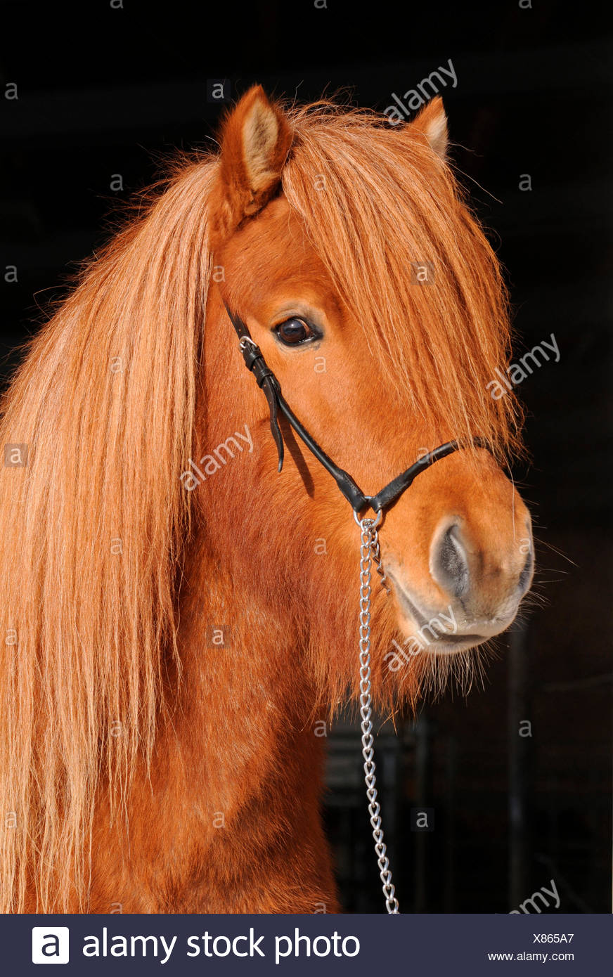 Icelandic Horse, stallion / sorrel - Stock Image