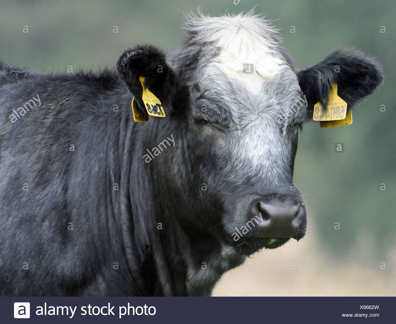 A black and grey cow with its eyes closed - Stock Image