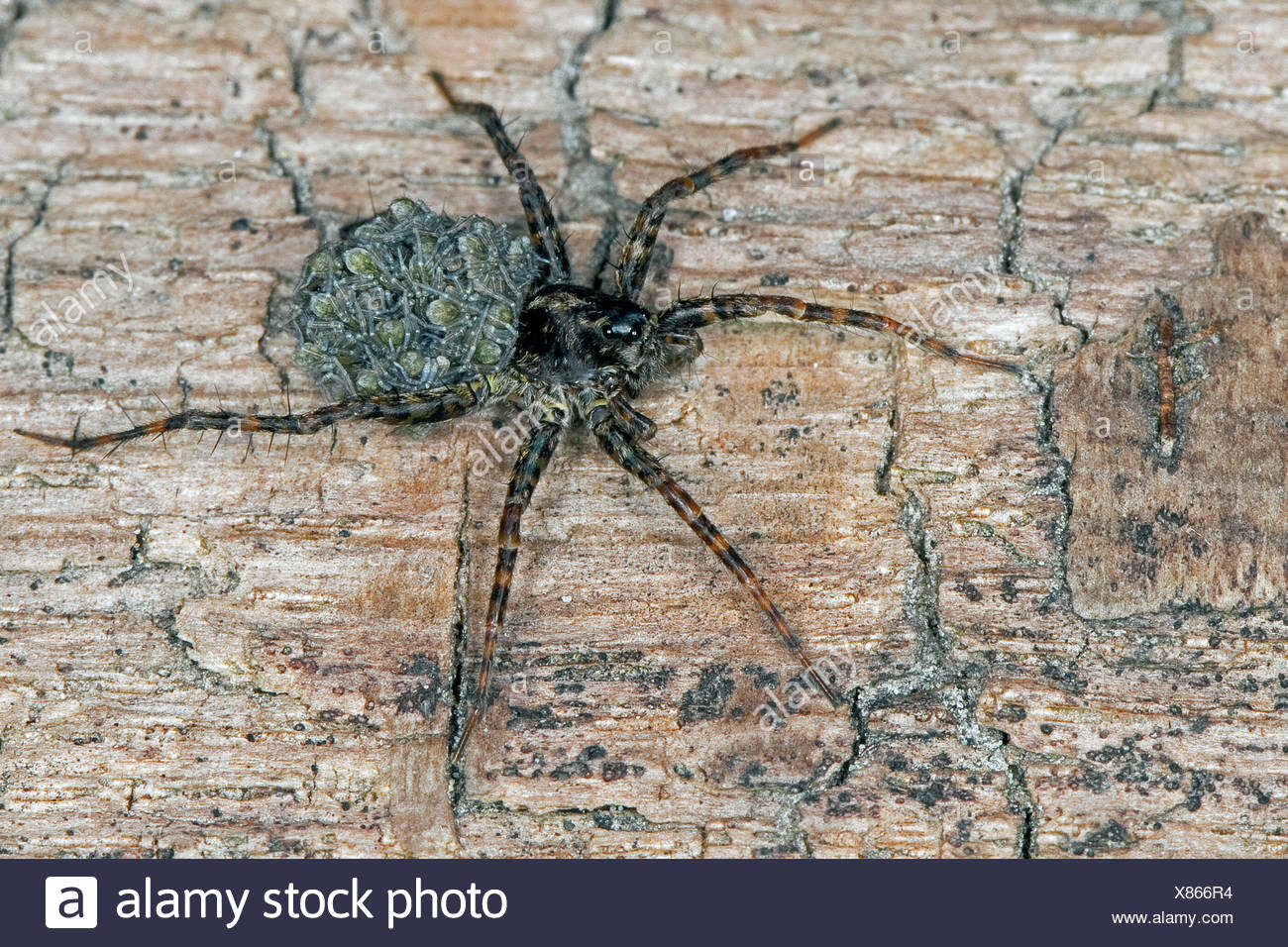 Spotted Wolf spider (Pardosa cf. amentata), female with juveniles on the back, Germany - Stock Image