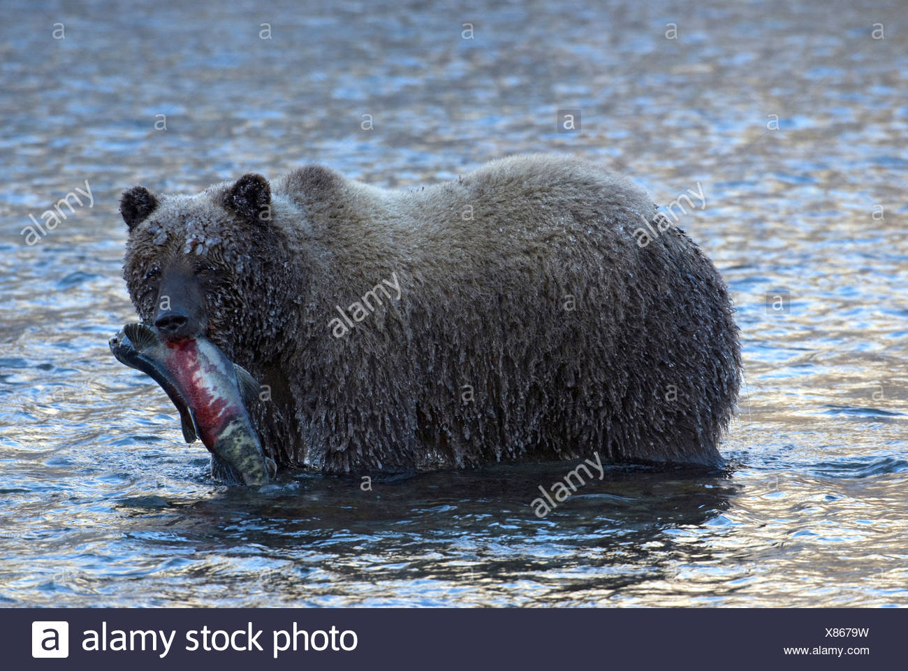 Wild Grizzly bear carrying chum or dog salmon in early winter in Fishing Branch River.  Fishing Branch Ni'iinlii'njik Park Yukon - Stock Image
