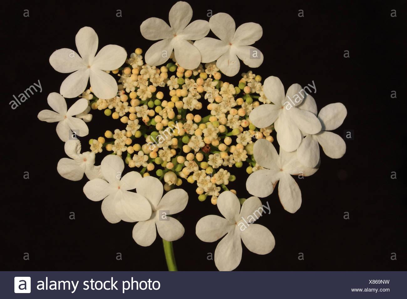 bloeiwijze van Gelderse Roos met steriele randbloemen (of zo je wilt: randstandige schijnbloemen) en centraal echte bloemen in bloei, knop (geelwit) en jonge knop (groen) Stock Photo