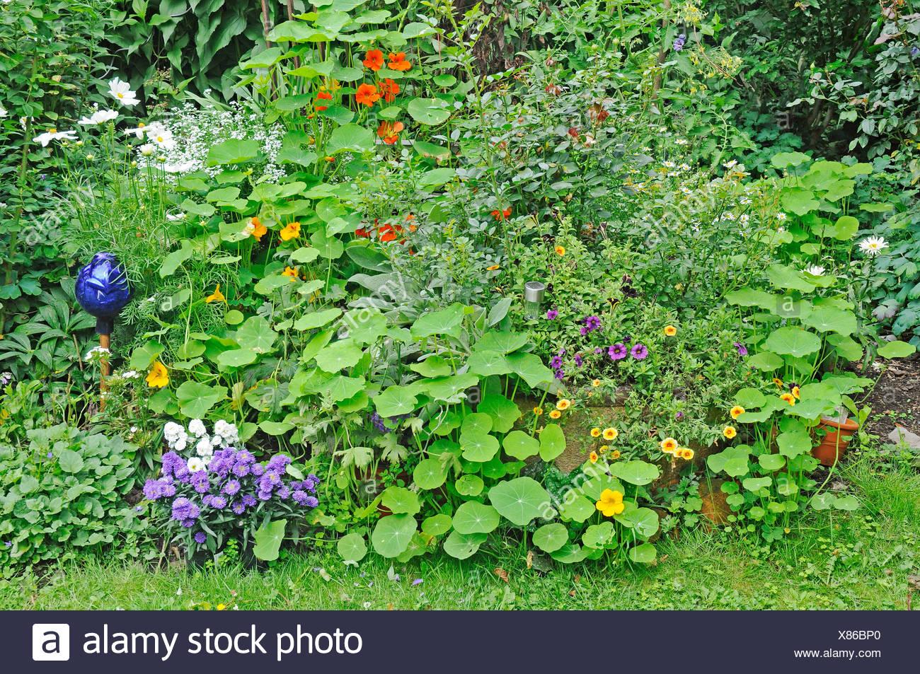 Flower bed of perennials with Nasturtium (Tropaeolum), garden, Gelsenkirchen, North Rhine-Westphalia, Germany, Europe - Stock Image