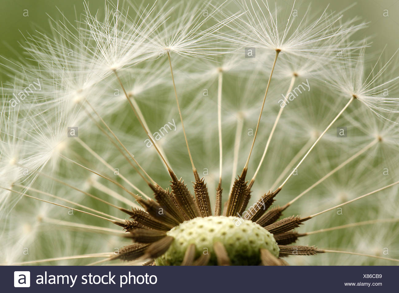 summer summerly blowball - Stock Image