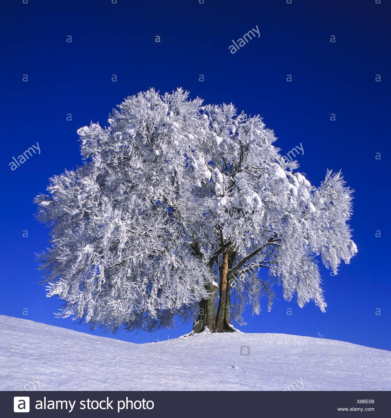 Einzelner Baum im Winter, Schnee - Stock Image