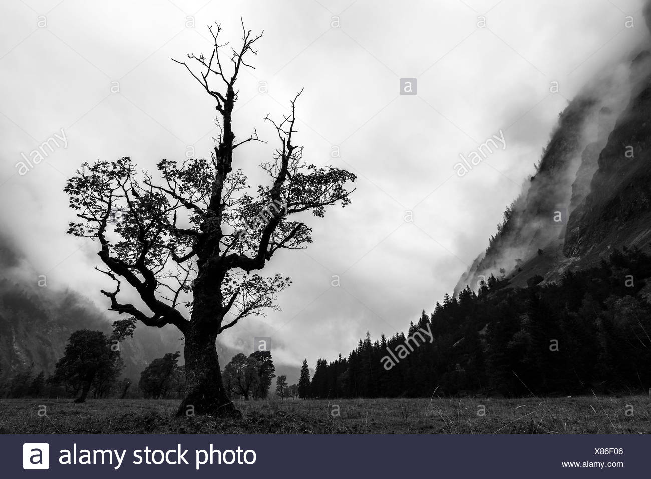 An old maple tree with the last autumn foliage stretches itself gloomily to cloudy sky. - Stock Image