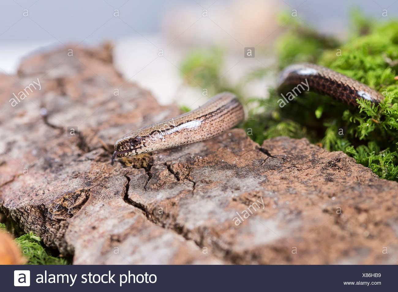 Blindworm (Anguis fragilis) on stone, studio shot Stock Photo