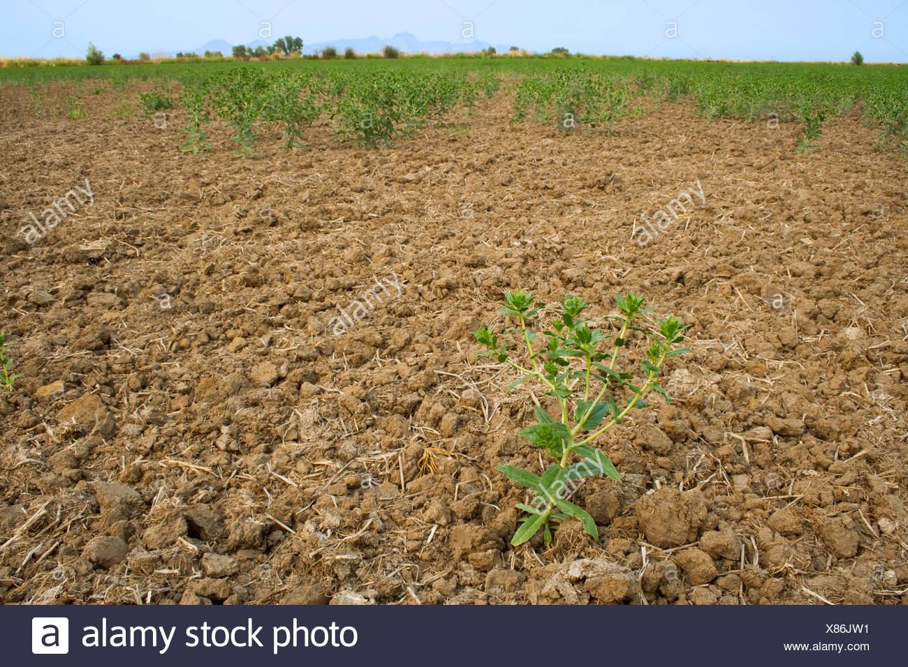 A dryland safflower crop that was dependent on spring rain that didn't arrive for germination suffers from drought / California. - Stock Image