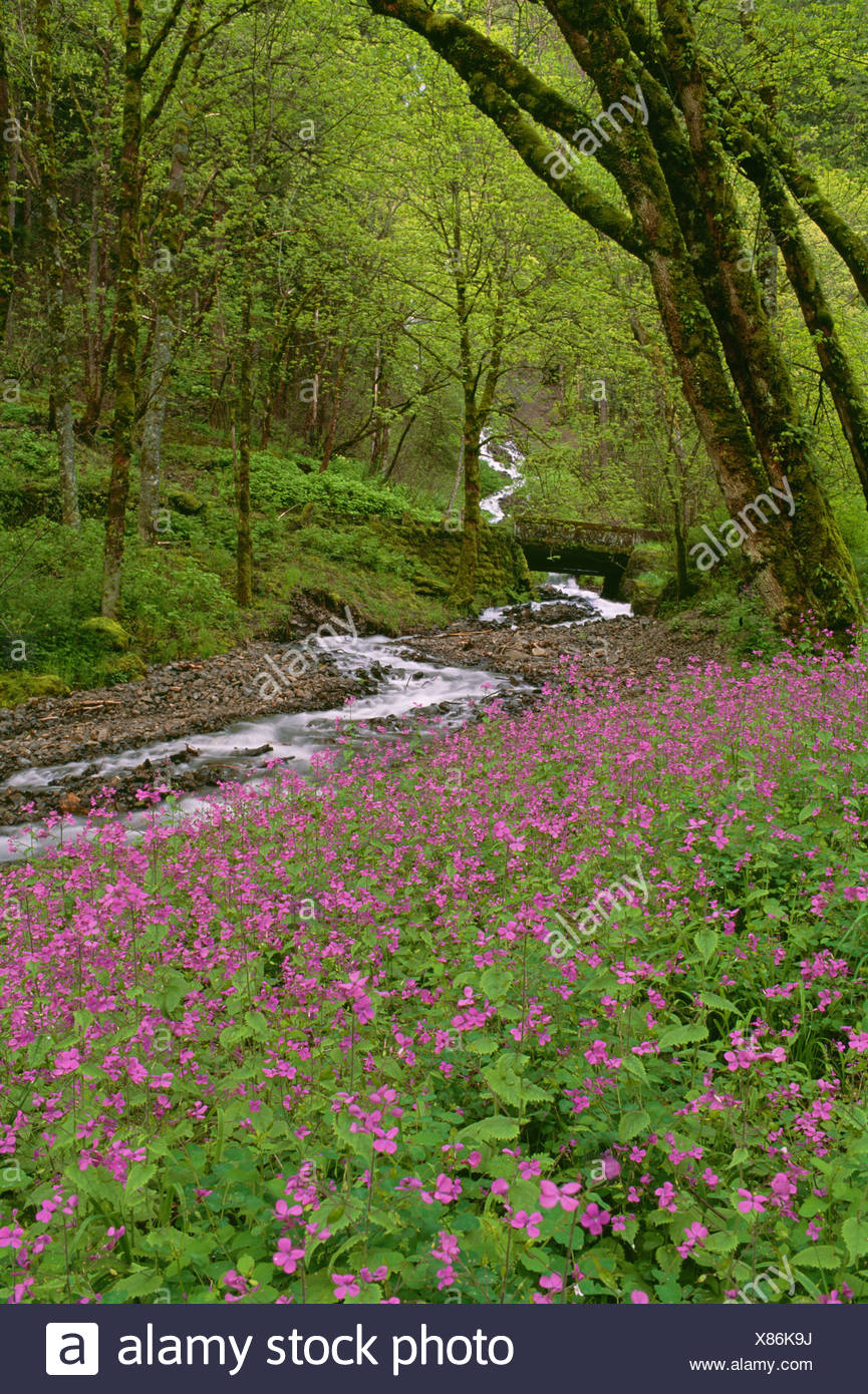 Wahkeena Falls is a waterfall in the Columbia River Gorge in the state of Oregon. Pink spring wild flowers. - Stock Image