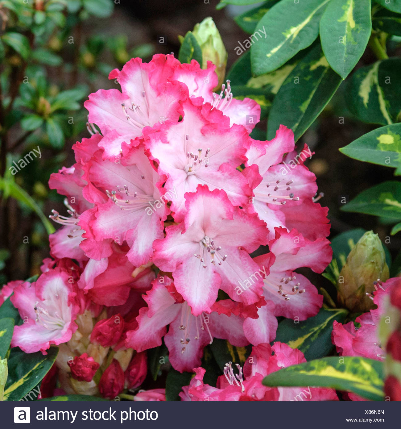 rhododendron (Rhododendron 'President Roosevelt', Rhododendron President Roosevelt), cultivar President Roosevelt - Stock Image