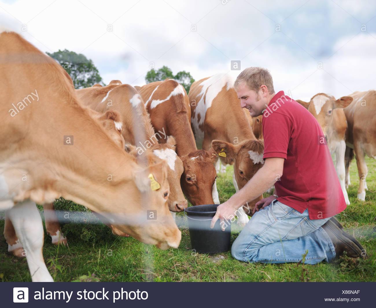 Farmer feeds Guernsey calves - Stock Image