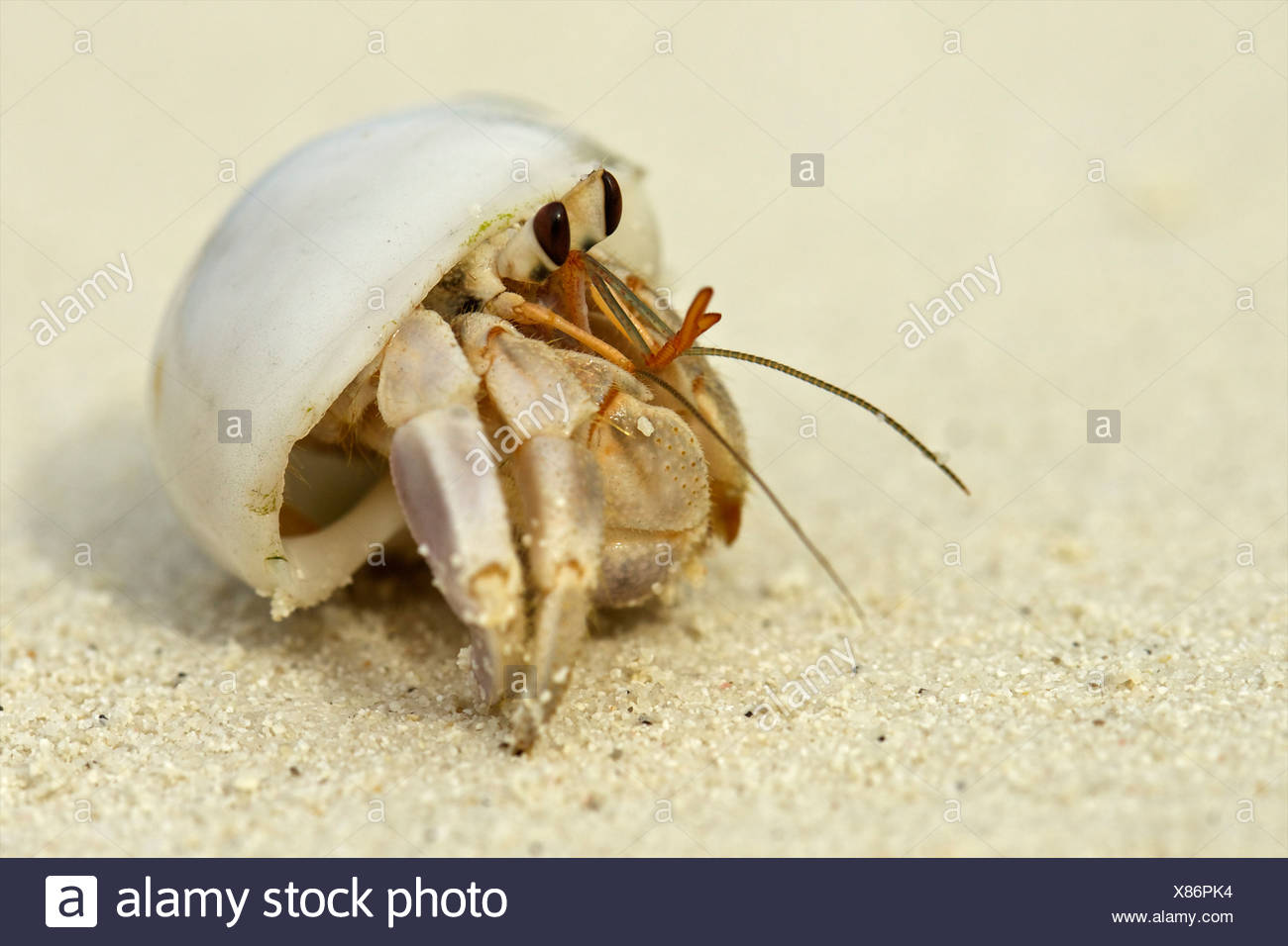 Hermit crab in a shell, Maldives - Stock Image